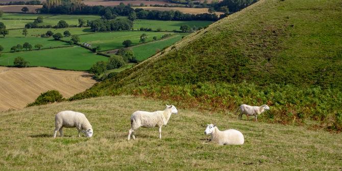 sheep caer caradoc