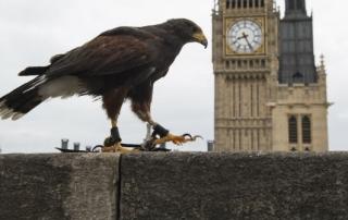 hawk parliament