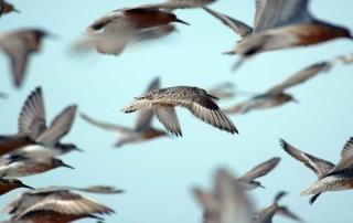 flock-of-red-knots-in-flight