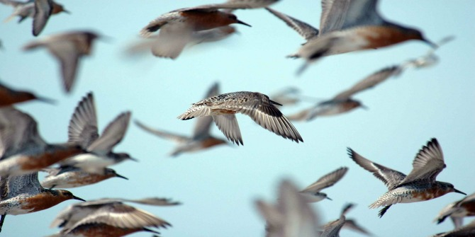 flock-of-red-knots-in-flight