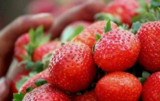 strawberries_for_sale_at_mahabaleshwar