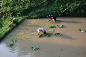 Nay Lyang-jyao and Catherine Ingram planting rice seedlings, 2008 (Photograph by Wu Jiahui)
