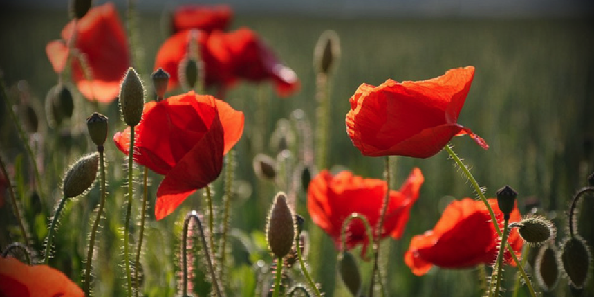 Remembrance Day And The Poppy Reflections From A Militarized