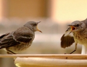 800px-Mocking_Bird_Argument