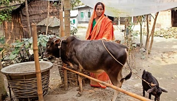Passport out of poverty? A woman helped by the BRAC programme with the cow the project gave her.