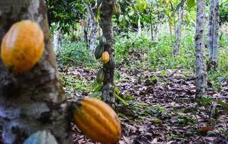 Ghana_cocoaplantation