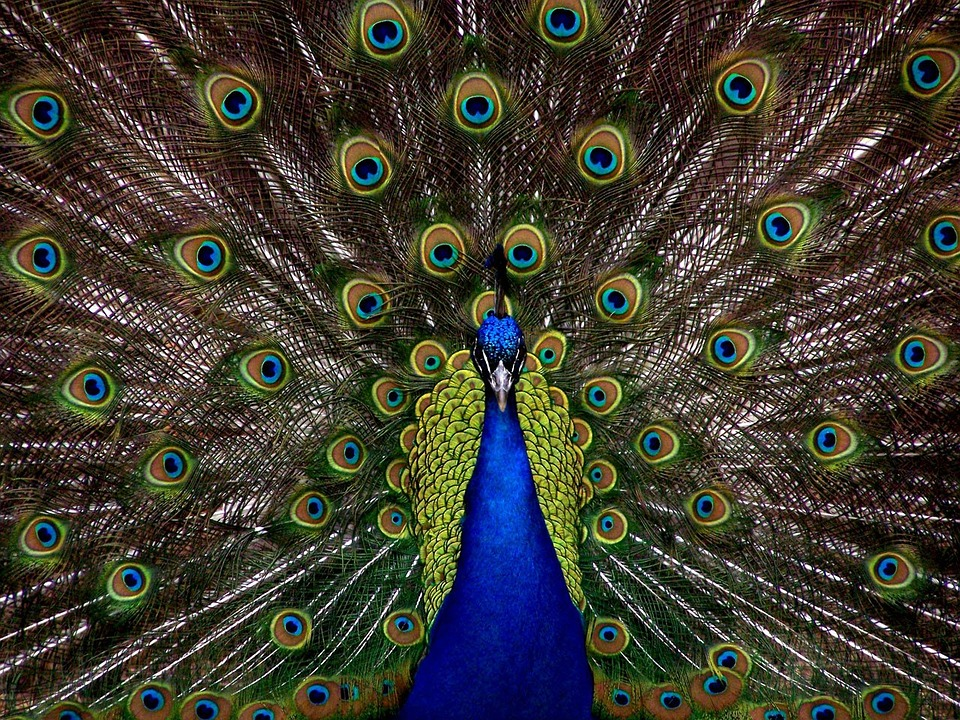 peacock-1868_960_720