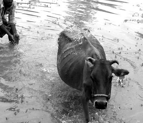 Aisbitt Cow