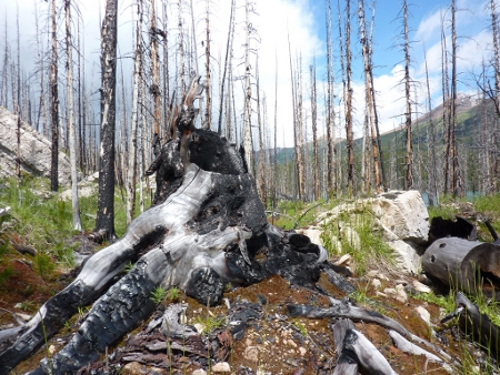 Charred remains of a forest in Jasper National Park, Canada Credid: Andrew Bowden (Creative Commons BY SA)